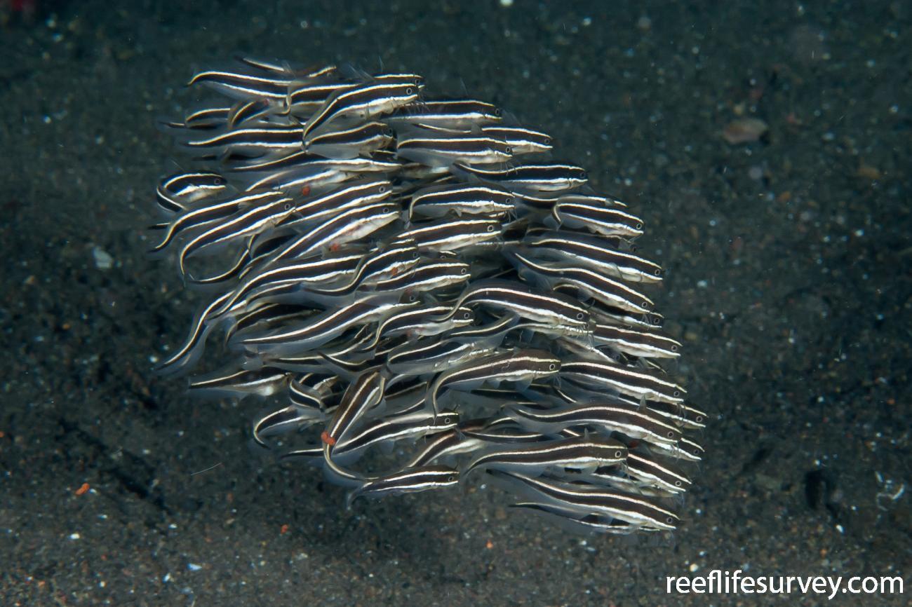 Plotosus lineatus, Juvenile, Bali, Indonesia,  Photo: Ian Shaw