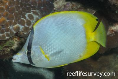 Chaetodon ocellatus: Bonaire,  Photo: Rick Stuart-Smith