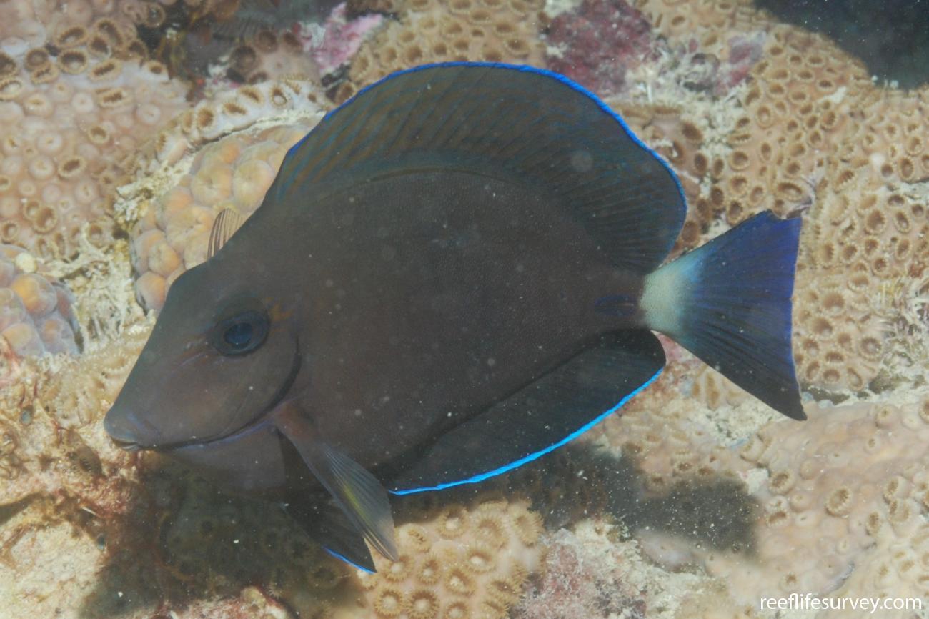 Acanthurus chirurgus, Abrolhos, Bahia, Brazil,  Photo: Graham Edgar