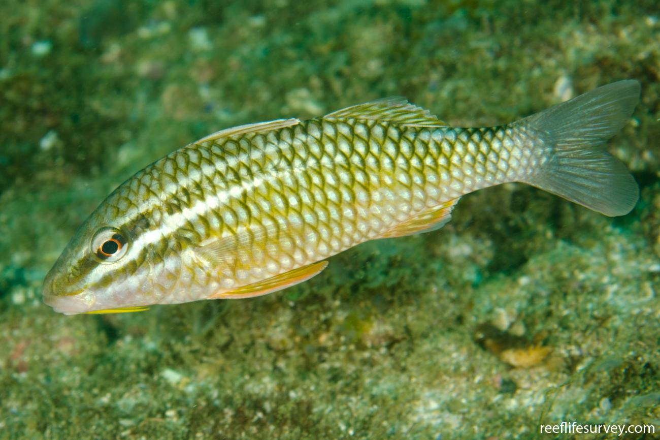 Parupeneus ciliatus, Adult, NSW, Australia,  Photo: Ian Shaw
