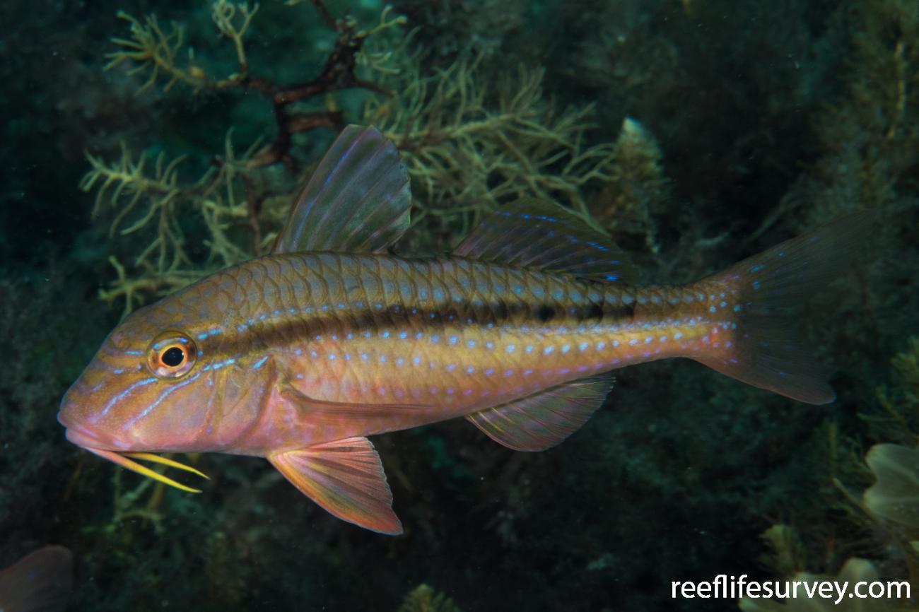 Upeneichthys vlamingii, Rocky Cape, TAS,  Photo: Rick Stuart-Smith