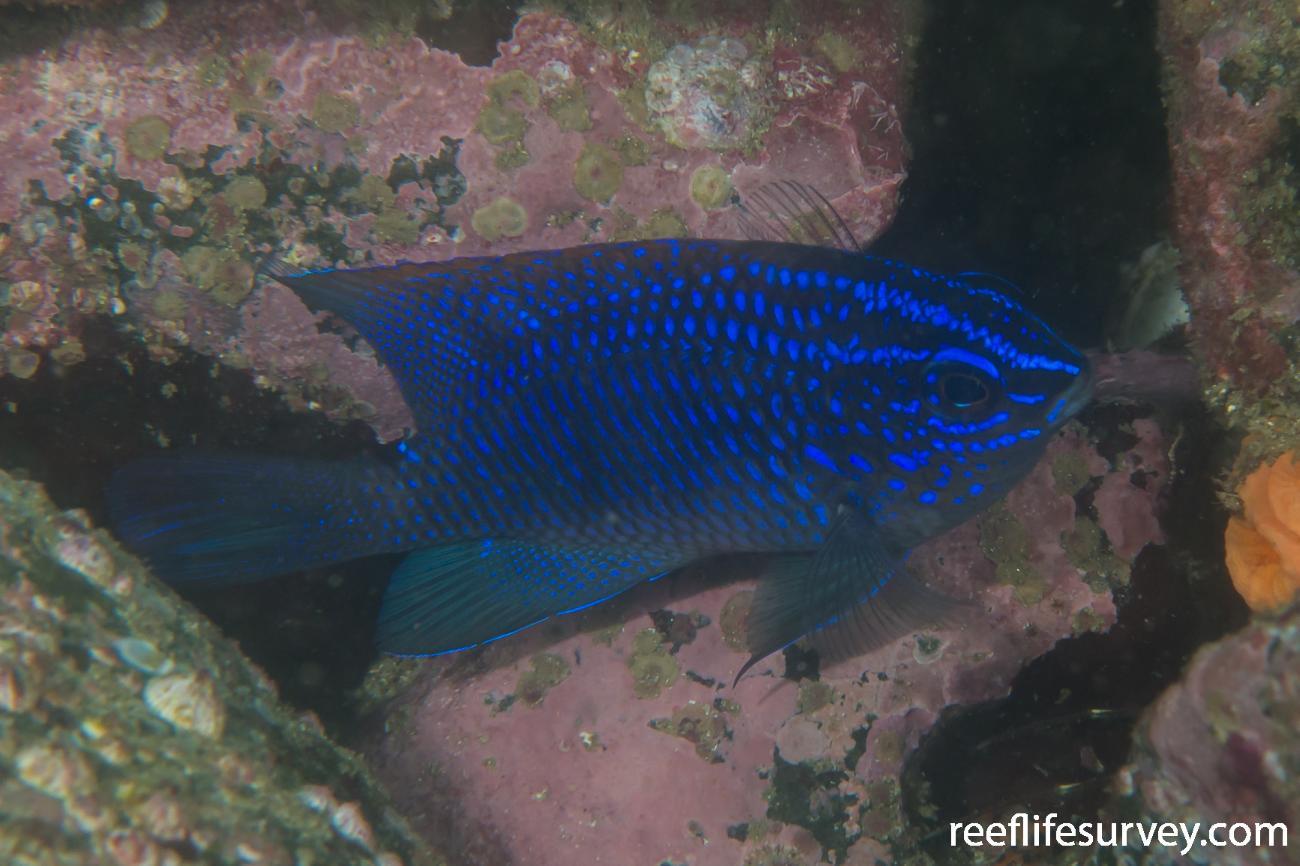 Stegastes acapulcoensis, Juvenile, Nicaragua,  Photo: Rick Stuart-Smith