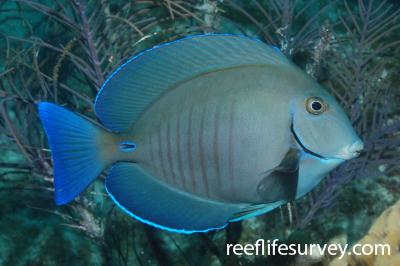 Acanthurus chirurgus: Florida Keys, USA,  Photo: Graham Edgar
