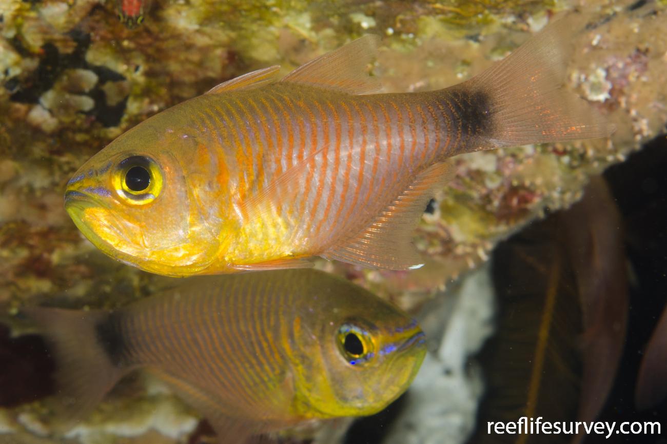 Taeniamia fucata, Adult, Bali, Indonesia,  Photo: Ian Shaw