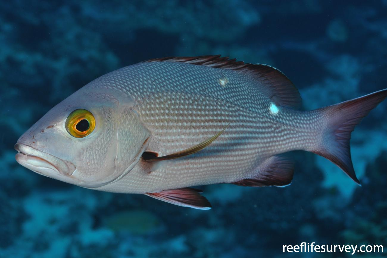 Lutjanus bohar, French Polynesia,  Photo: Rick Stuart-Smith