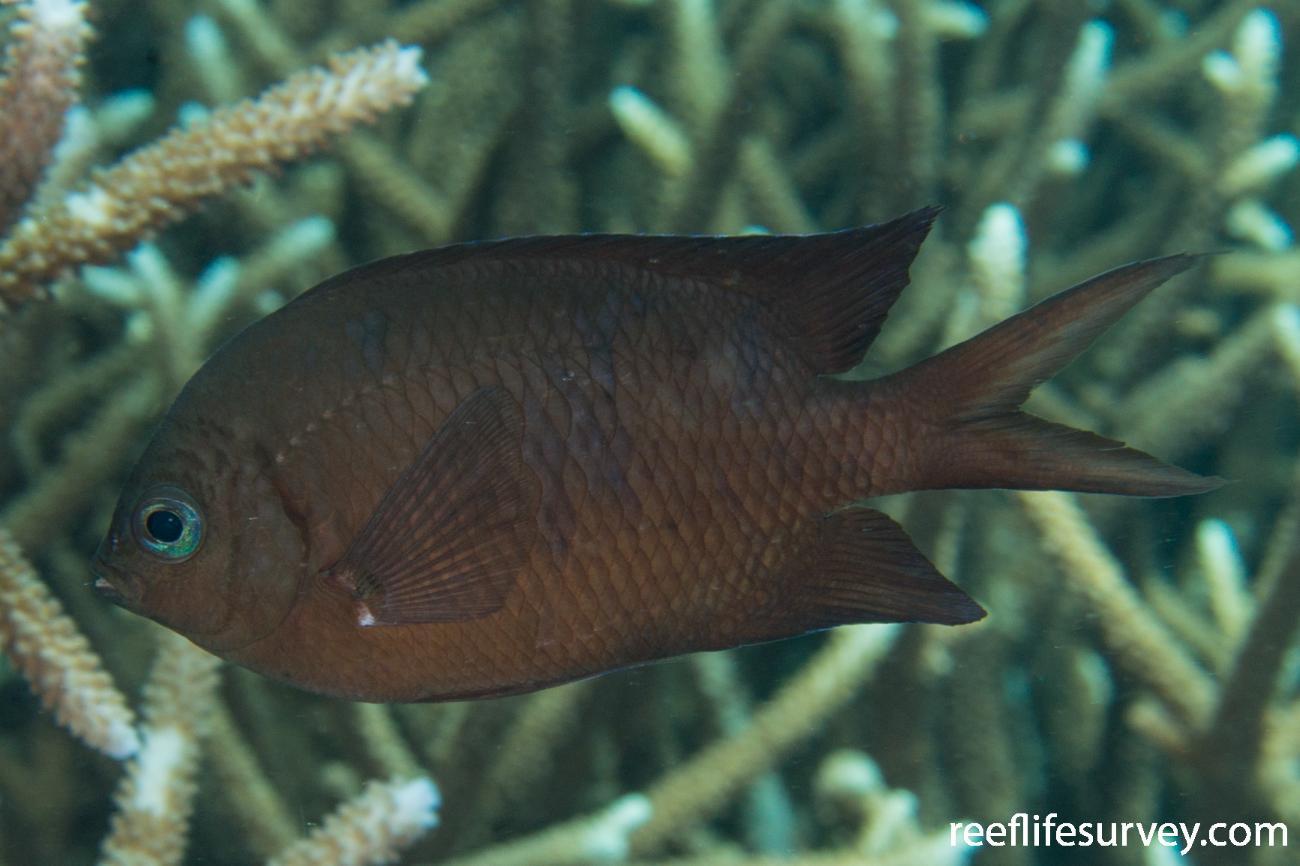 Acanthochromis polyacanthus,  Photo: Rick Stuart-Smith