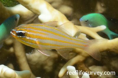 Ostorhinchus rubrimacula: Adult, Northern Great Barrier Reef, Australia,  Photo: Joe Shields