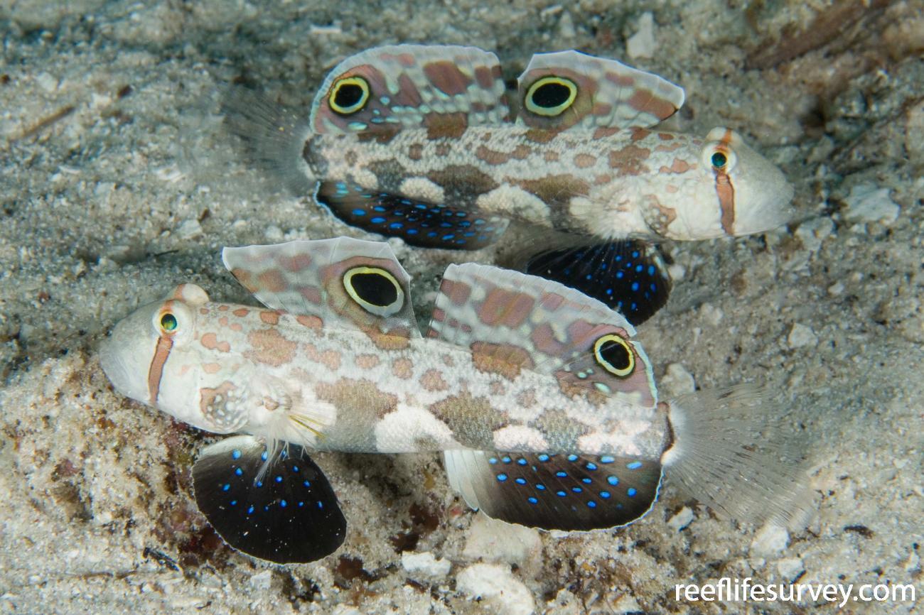 Signigobius biocellatus, Raja Ampat, Indonesia,  Photo: Andrew Green