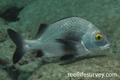 Anisotremus surinamensis: Bonaire,  Photo: Rick Stuart-Smith