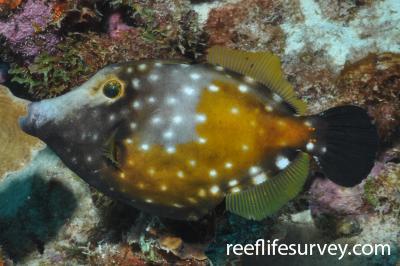 Cantherhines macrocerus: Bonaire,  Photo: Rick Stuart-Smith