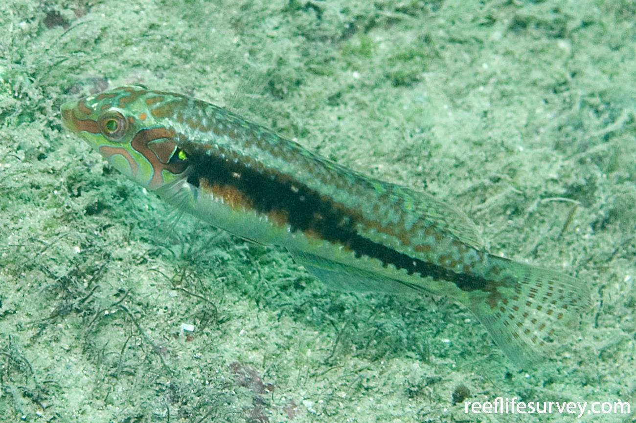 Halichoeres miniatus, Male, Hudson Is, Great Barrier Reef, QLD,  Photo: Andrew Green