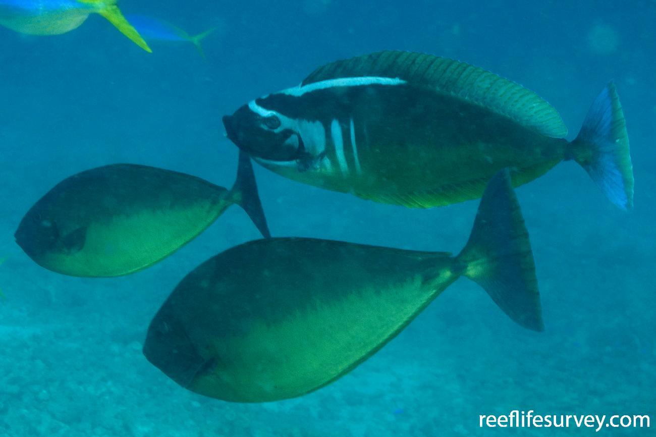 Naso hexacanthus, Coral Sea, QLD,  Photo: Andrew Green