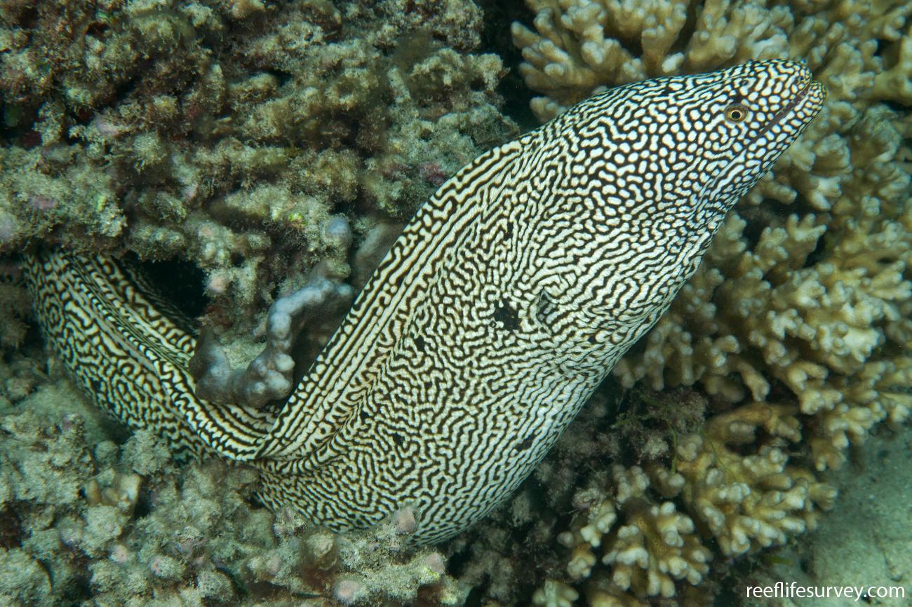 Gymnothorax eurostus, Colour variation, Lord Howe Is, Australia,  Photo: Ian Shaw