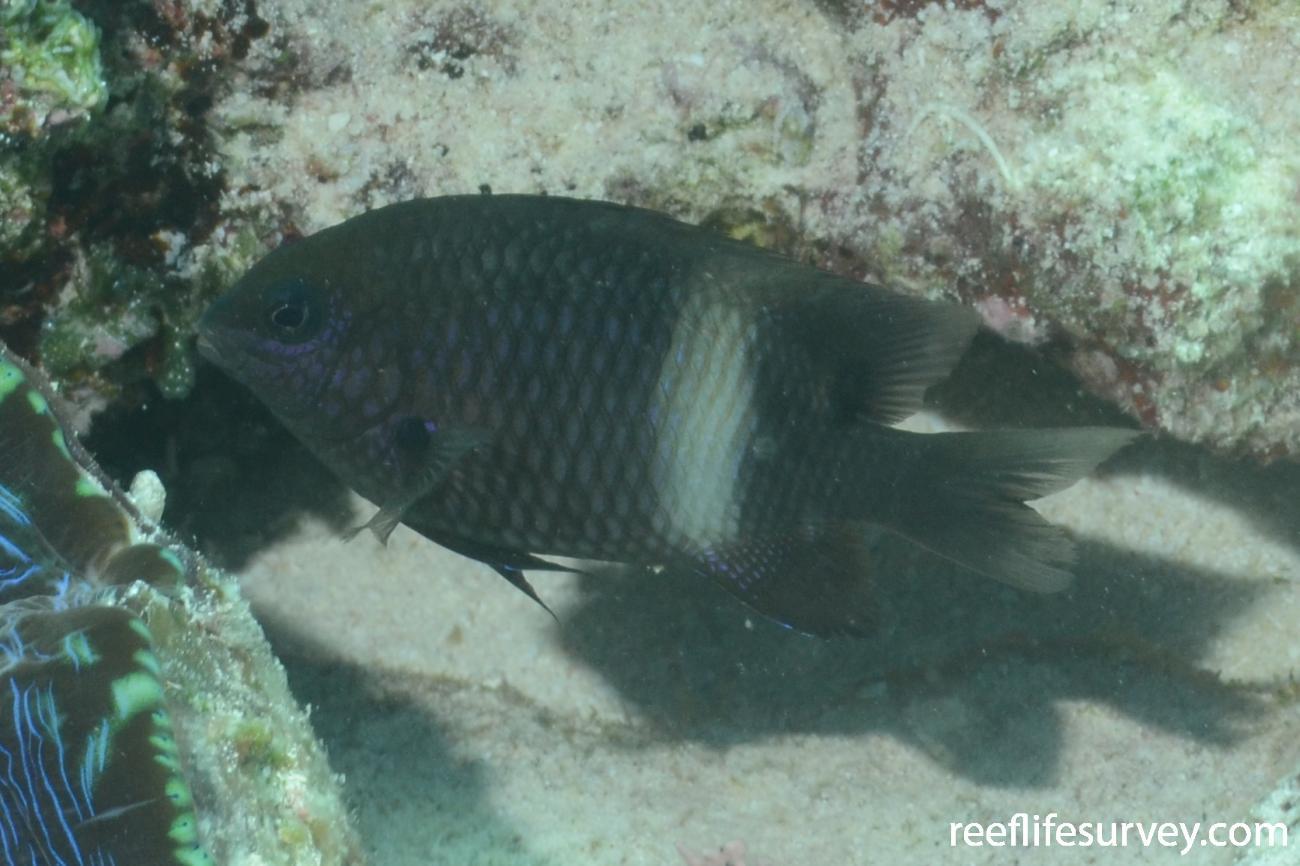 Stegastes lividus, Adult, Coral Sea,  Photo: Graham Edgar