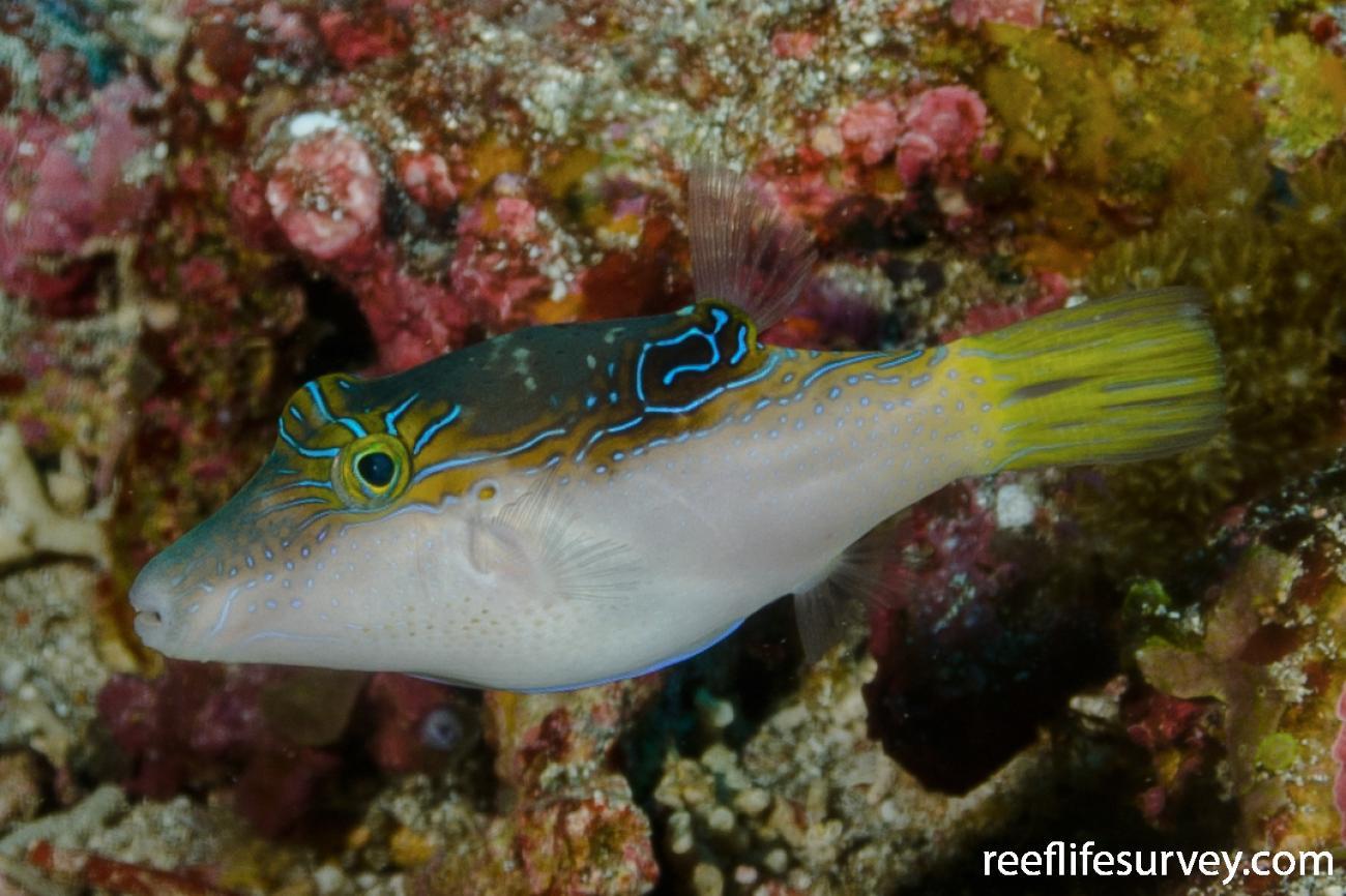Canthigaster epilampra, Adult, Nusa Lembongan, Bali, Indonesia,  Photo: Ian Shaw