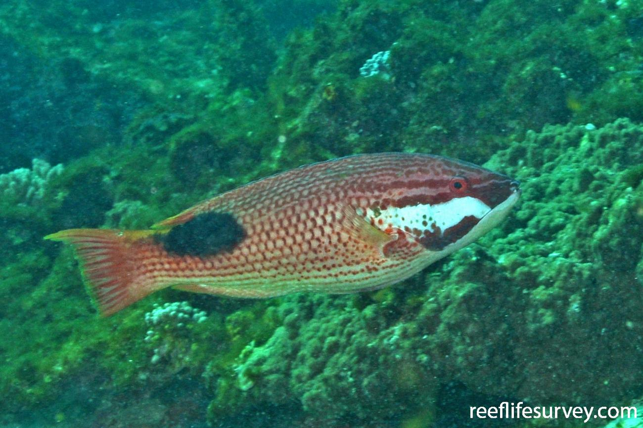 Bodianus bilunulatus, WA, Australia,  Photo: Rick Stuart-Smith