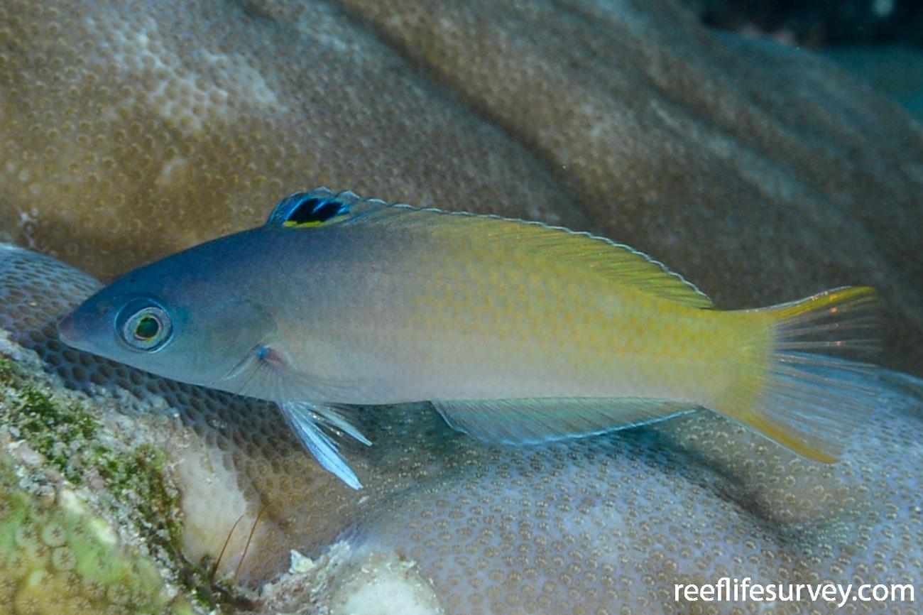 Halichoeres prosopeion, Adult, Raja Ampat, Indonesia,  Photo: Rick Stuart-Smith