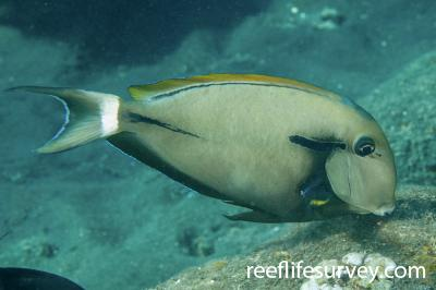 Acanthurus nigricauda: Bali, Indonesia,  Photo: Ian Shaw