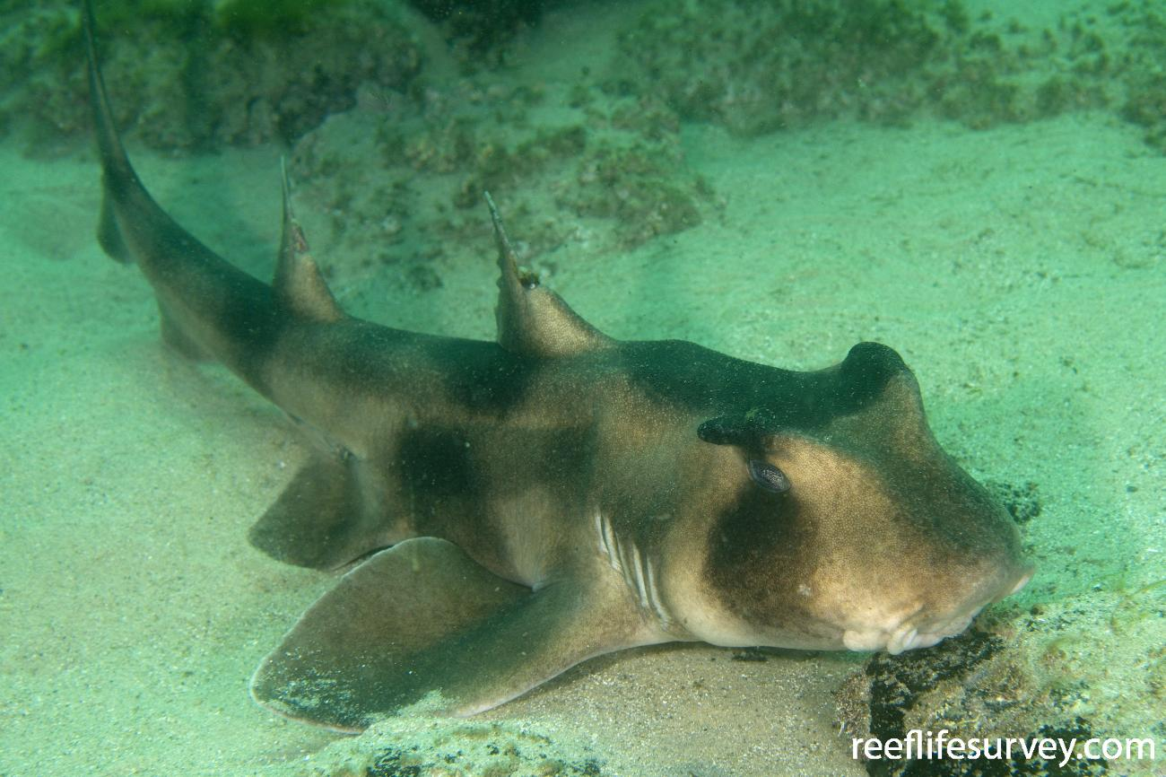 Heterodontus galeatus, Ulladulla, NSW,  Photo: Andrew Green