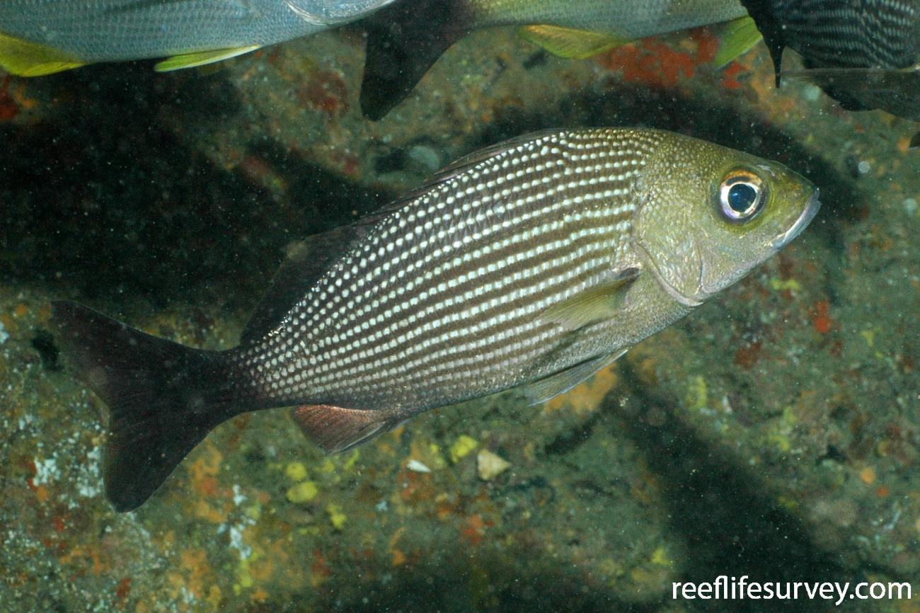 Haemulon maculicauda, Coiba, Panama,  Photo: Graham Edgar