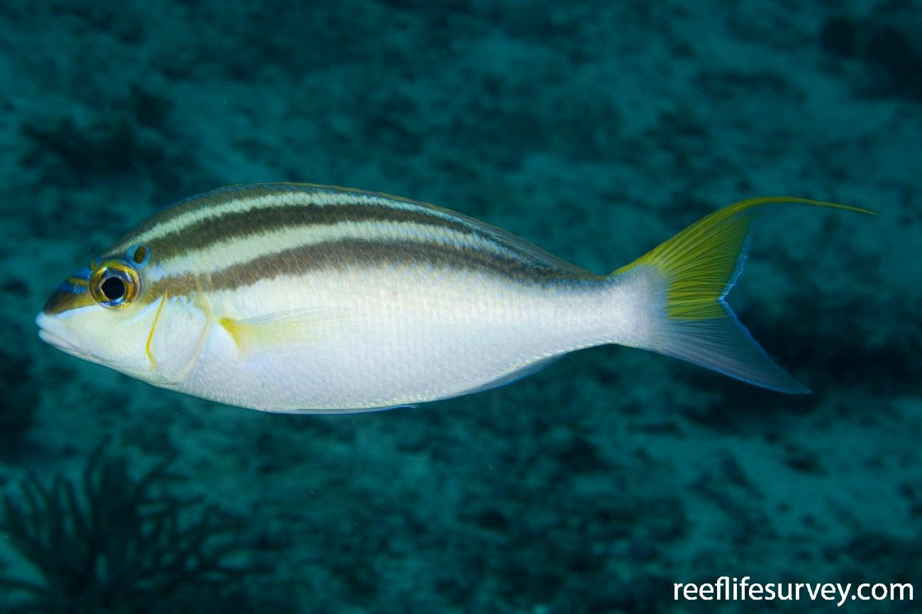 Scolopsis temporalis, Raja Ampat, Indonesia,  Photo: Andrew Green