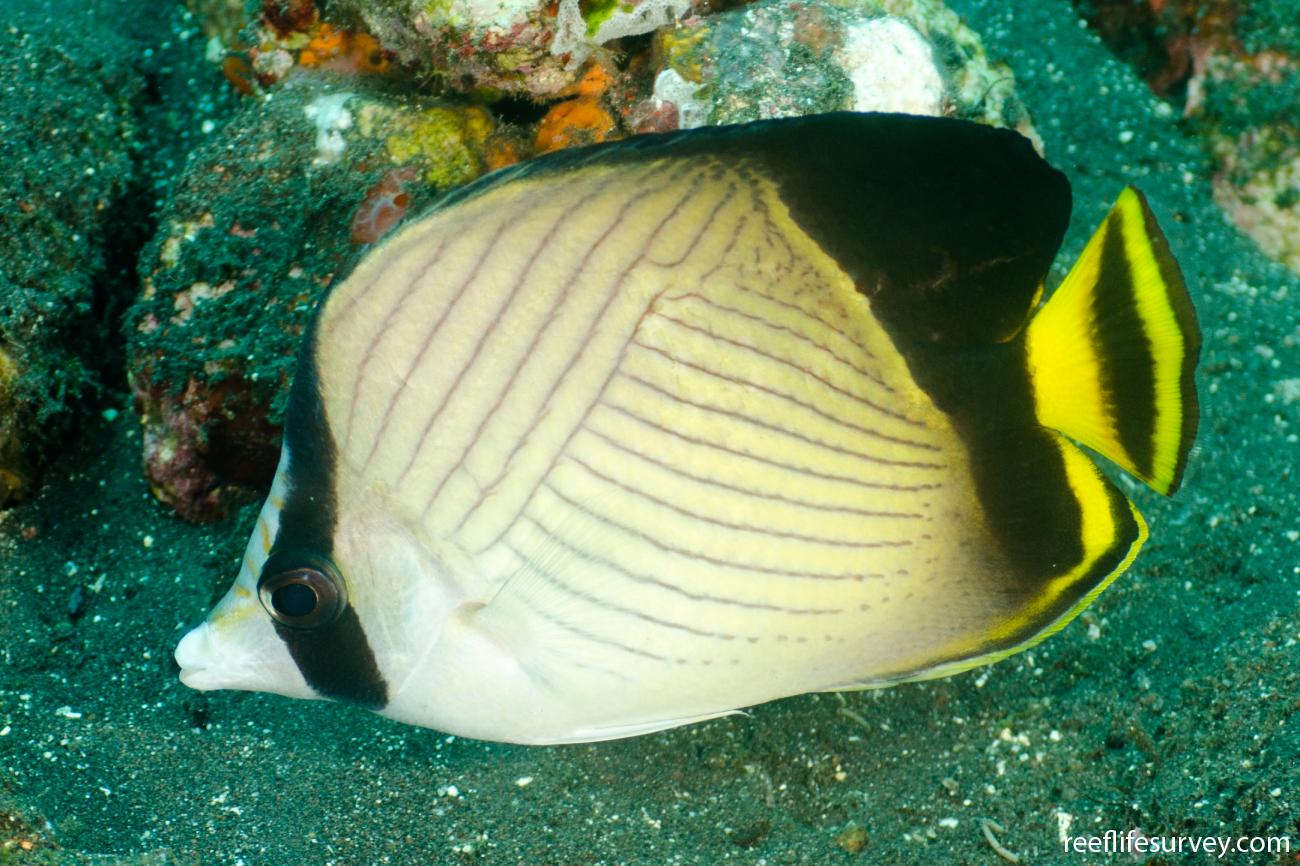 Chaetodon decussatus, Adult, Bali, Indonesia,  Photo: Ian Shaw