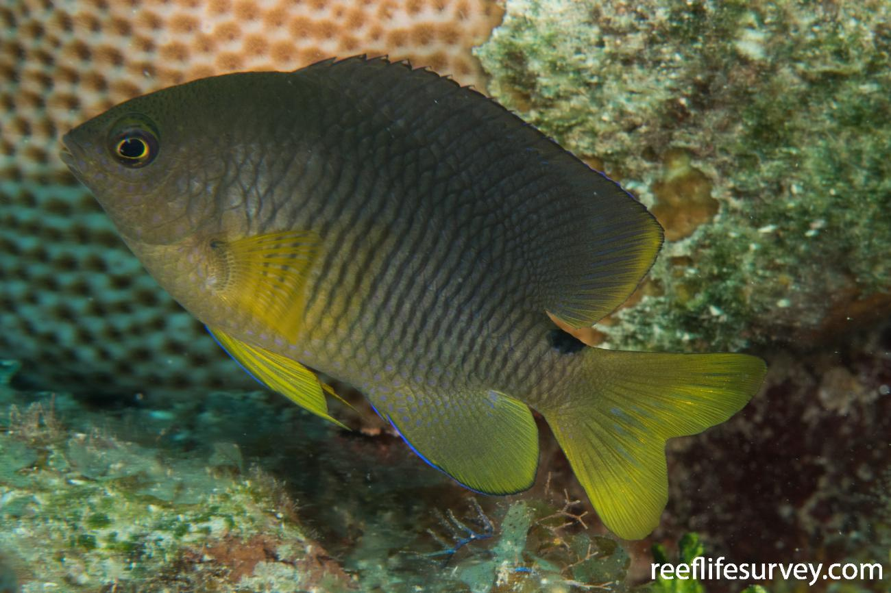 Stegastes variabilis, Belize,  Photo: Rick Stuart-Smith