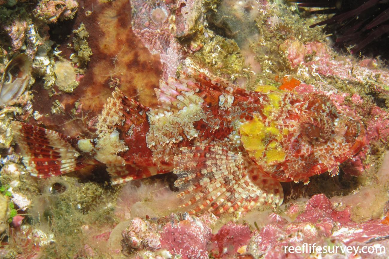 Scorpaena jacksoniensis, Solitary Is, NSW,  Photo: Andrew Green