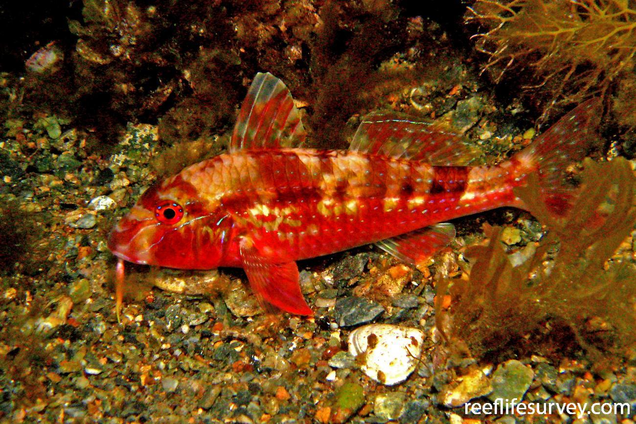 Upeneichthys vlamingii, Adult, Adelaide, SA,  Photo: Rick Stuart-Smith