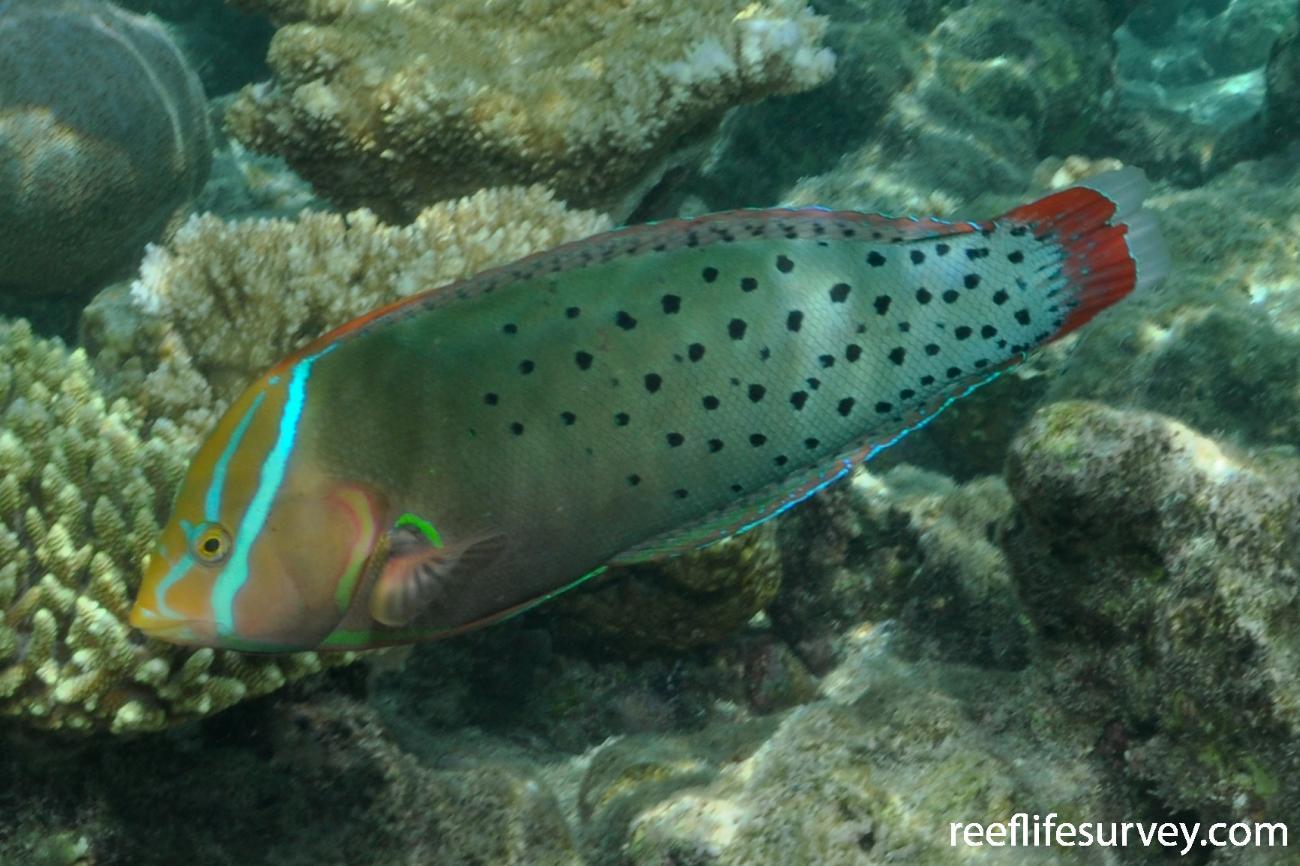 Coris formosa, Female, Maldives,  Photo: Rick Stuart-Smith