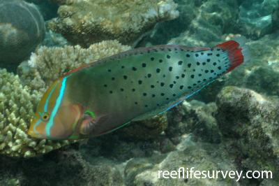 Coris formosa: Female, Maldives,  Photo: Rick Stuart-Smith