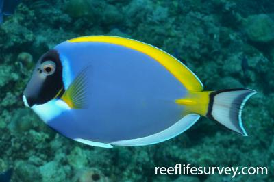 Acanthurus leucosternon: Maldives,  Photo: Rick Stuart-Smith