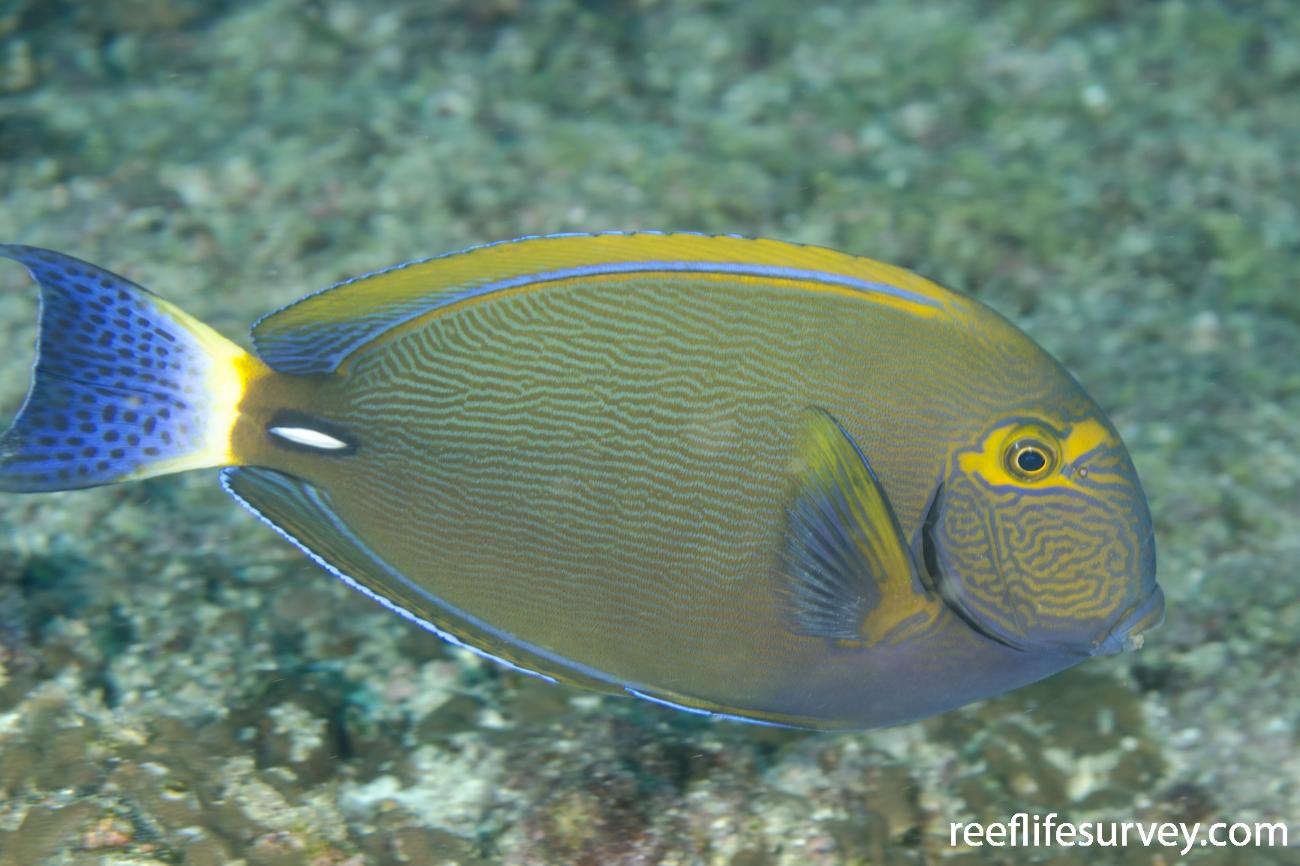 Acanthurus dussumieri, Adult, NSW, Australia,  Photo: Ian Shaw
