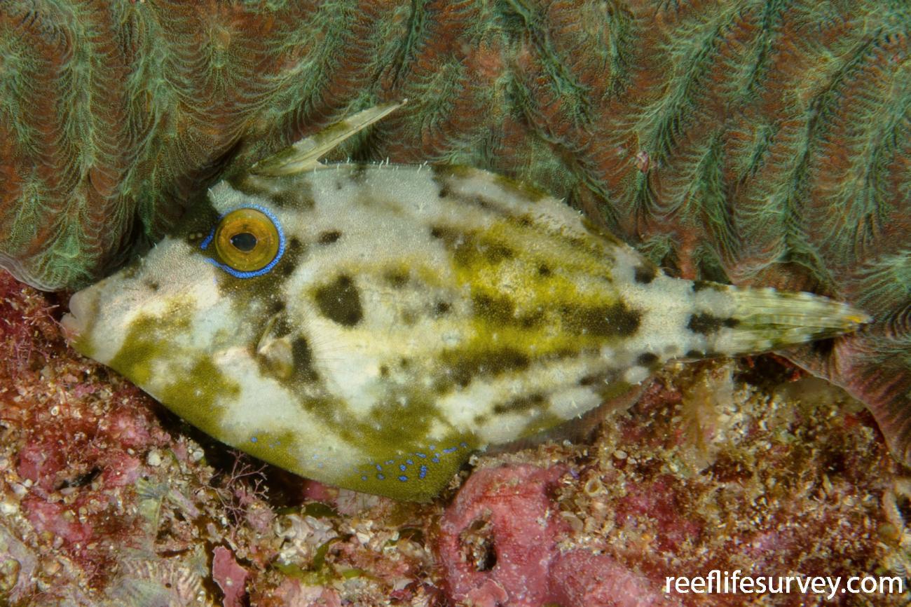 Cantherhines fronticinctus, Juvenile, NSW, Australia,  Photo: Ian Shaw
