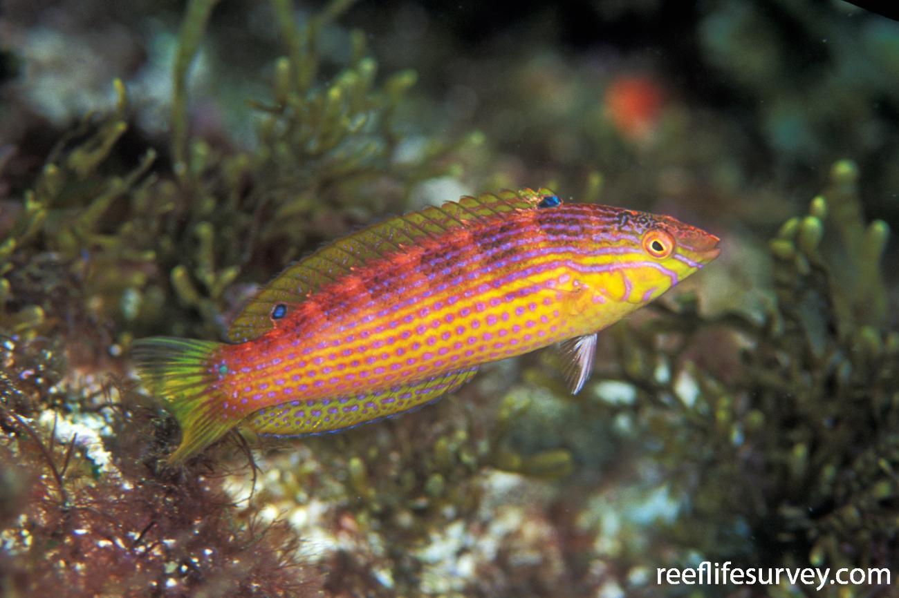 Suezichthys arquatus, NSW, Australia,  Photo: Ian Shaw