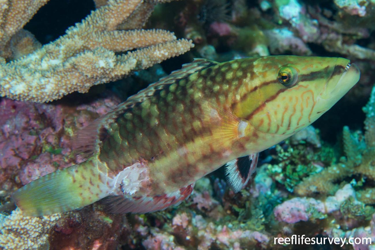 Oxycheilinus unifasciatus,  Photo: Rick Stuart-Smith