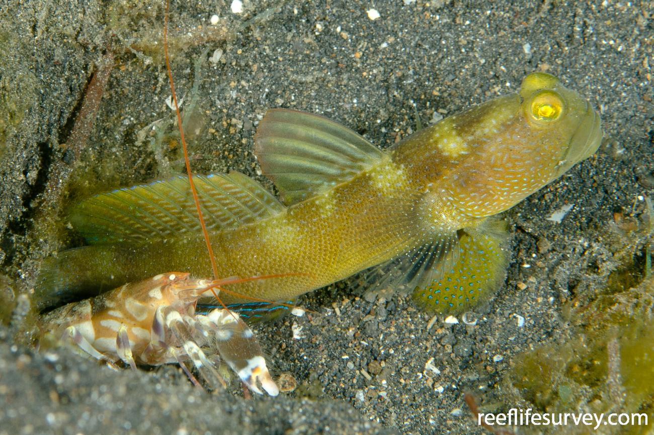 Cryptocentrus fasciatus, Yellow form, Sulawesi, Indonesia,  Photo: Ian Shaw