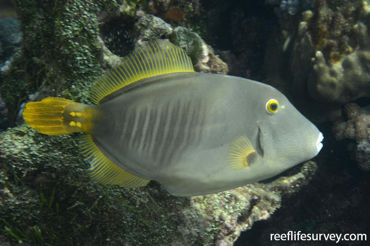 Cantherhines dumerilii, Lord Howe Is, Australia,  Photo: Andrew Green