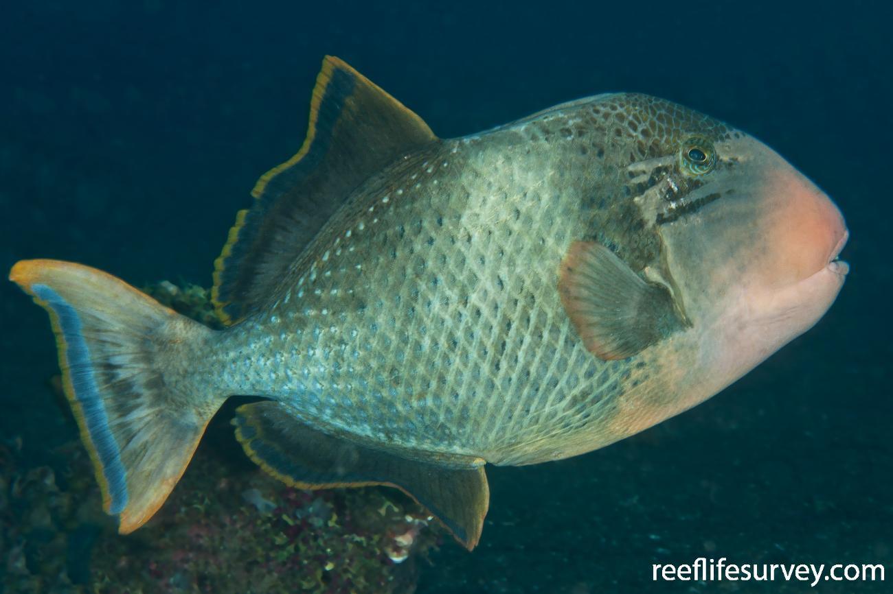 Pseudobalistes flavimarginatus, Adult, Bali, Indonesia,  Photo: Ian Shaw