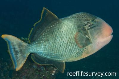 Pseudobalistes flavimarginatus: Adult, Bali, Indonesia,  Photo: Ian Shaw