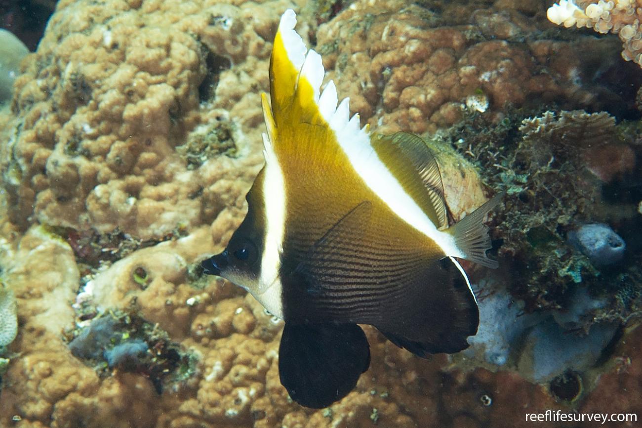 Heniochus varius, Juvenile, Bali, Indonesia,  Photo: Ian Shaw