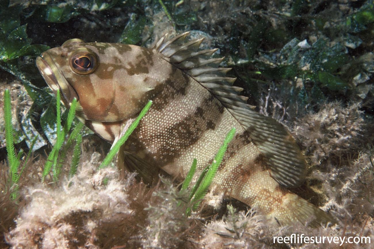 Epinephelus rivulatus,  Photo: Graham Edgar
