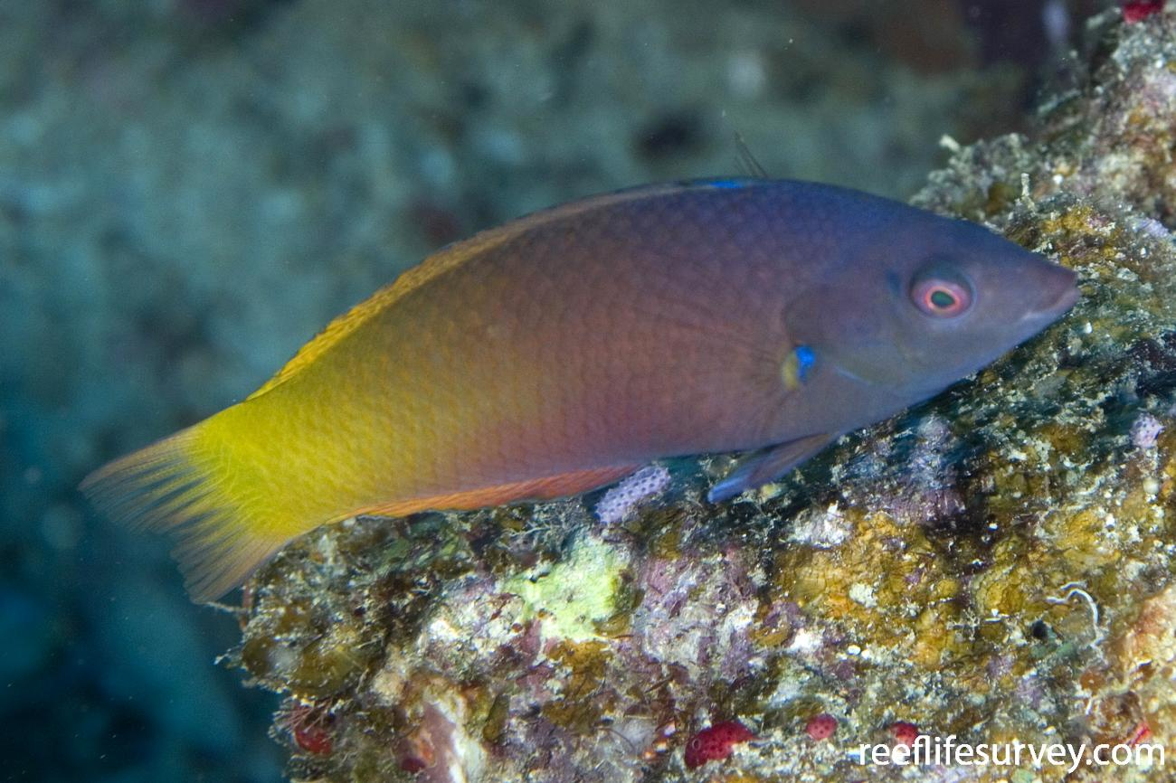 Halichoeres prosopeion, Adult, Naigani Is, Fiji,  Photo: Andrew Green