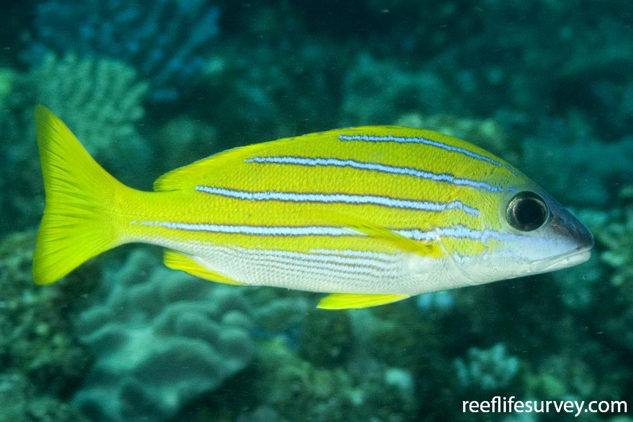 Lutjanus kasmira, Northern Great Barrier Reef, QLD,  Photo: Andrew Green