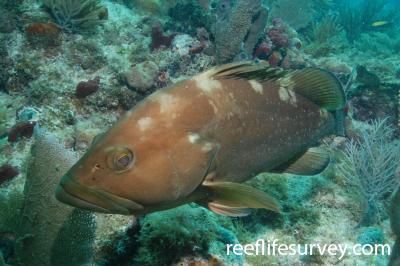 Epinephelus morio: Florida Keys, USA,  Photo: Graham Edgar