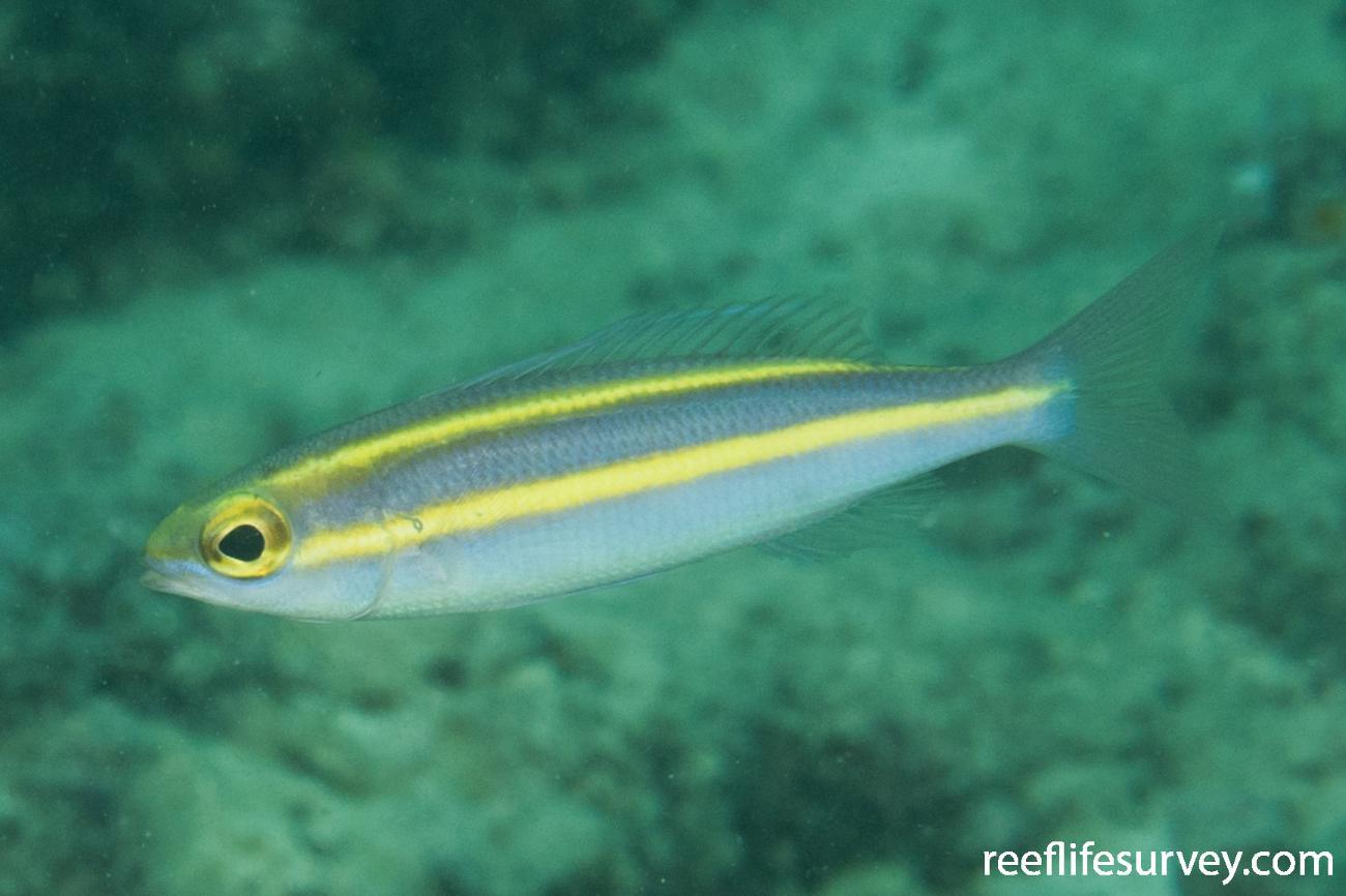 Pentapodus aureofasciatus, QLD, Australia,  Photo: Rick Stuart-Smith