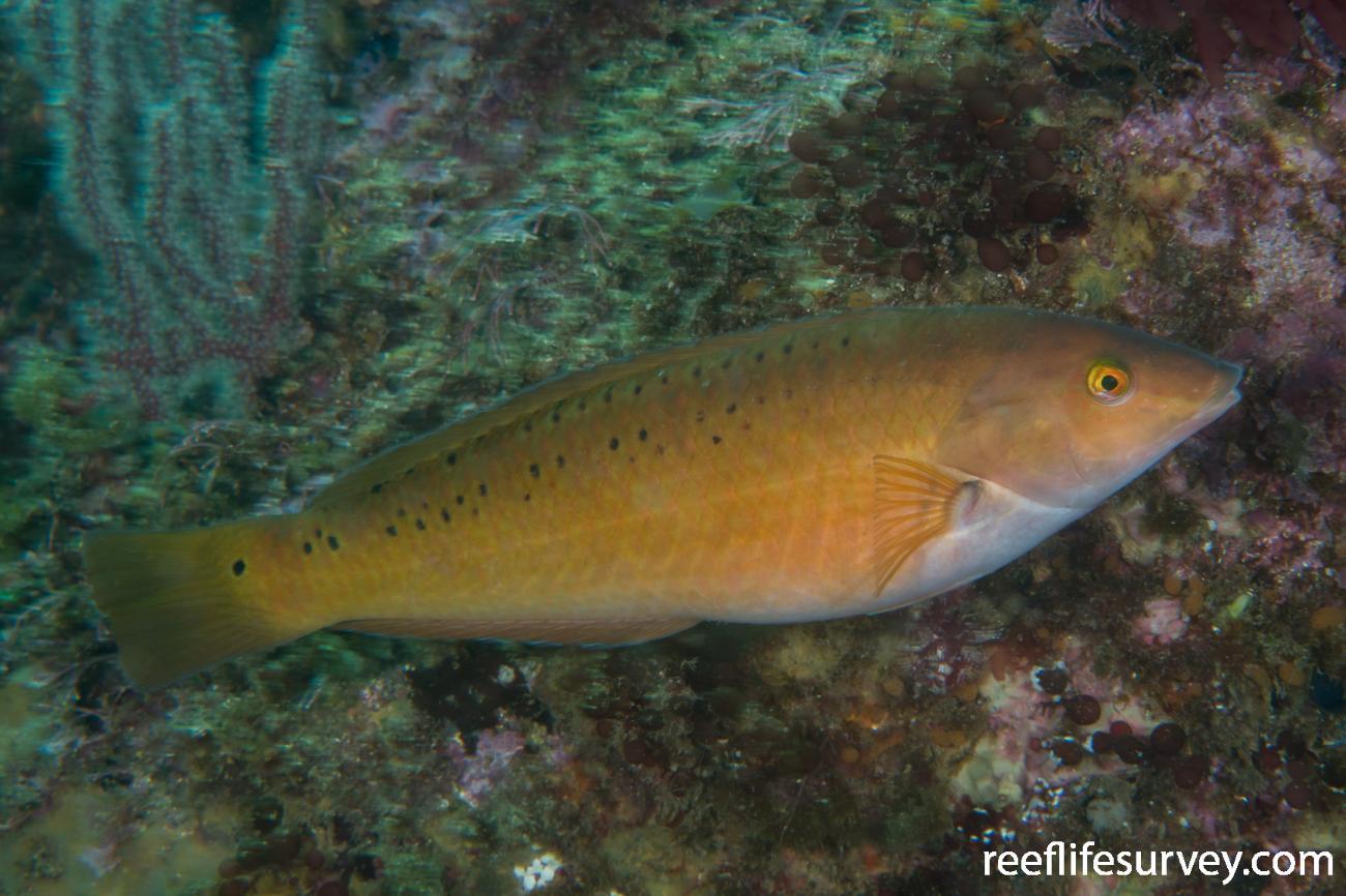 Halichoeres semicinctus, Female, Gulf of California, Mexico,  Photo: Rick Stuart-Smith