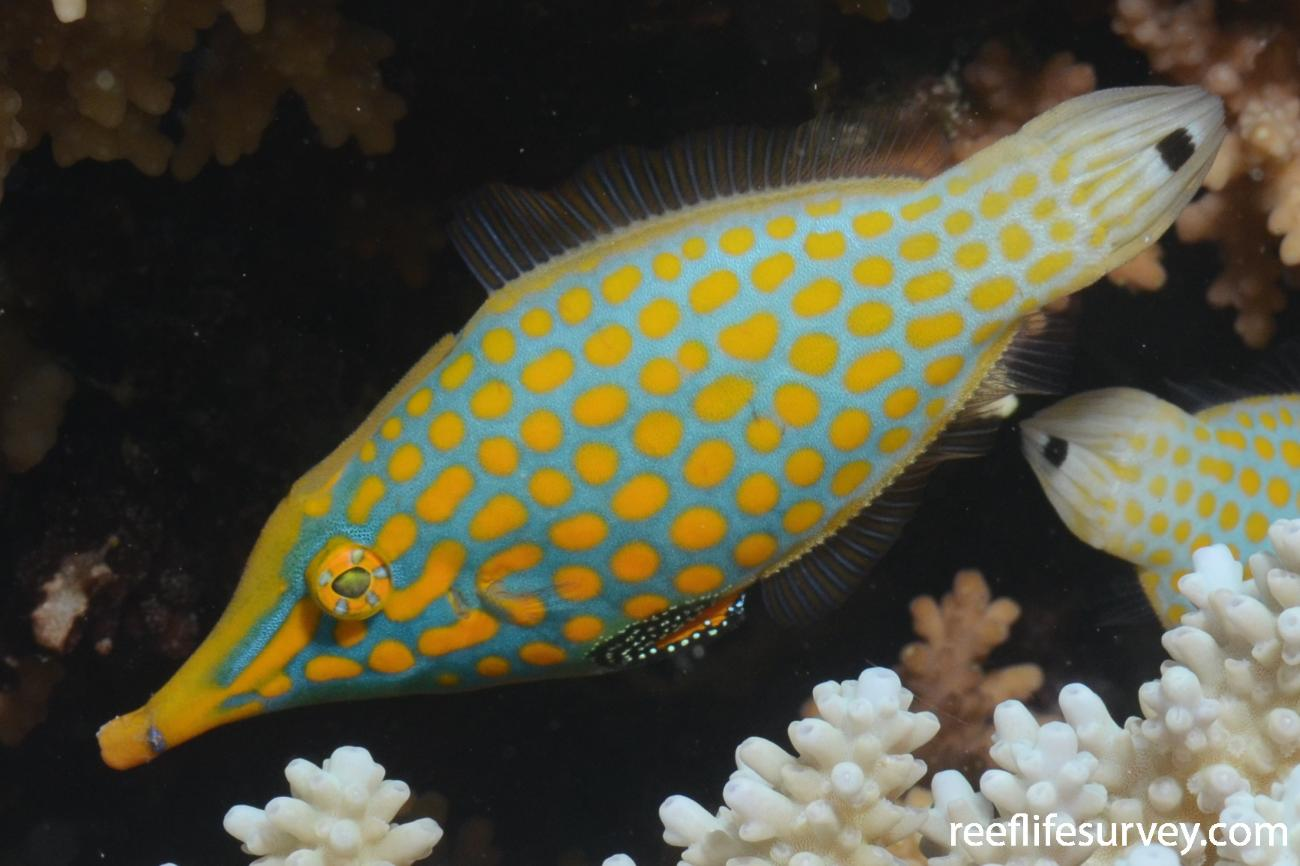 Oxymonacanthus longirostris, Adult, Northern Great Barrier Reef, Australia,  Photo: Joe Shields