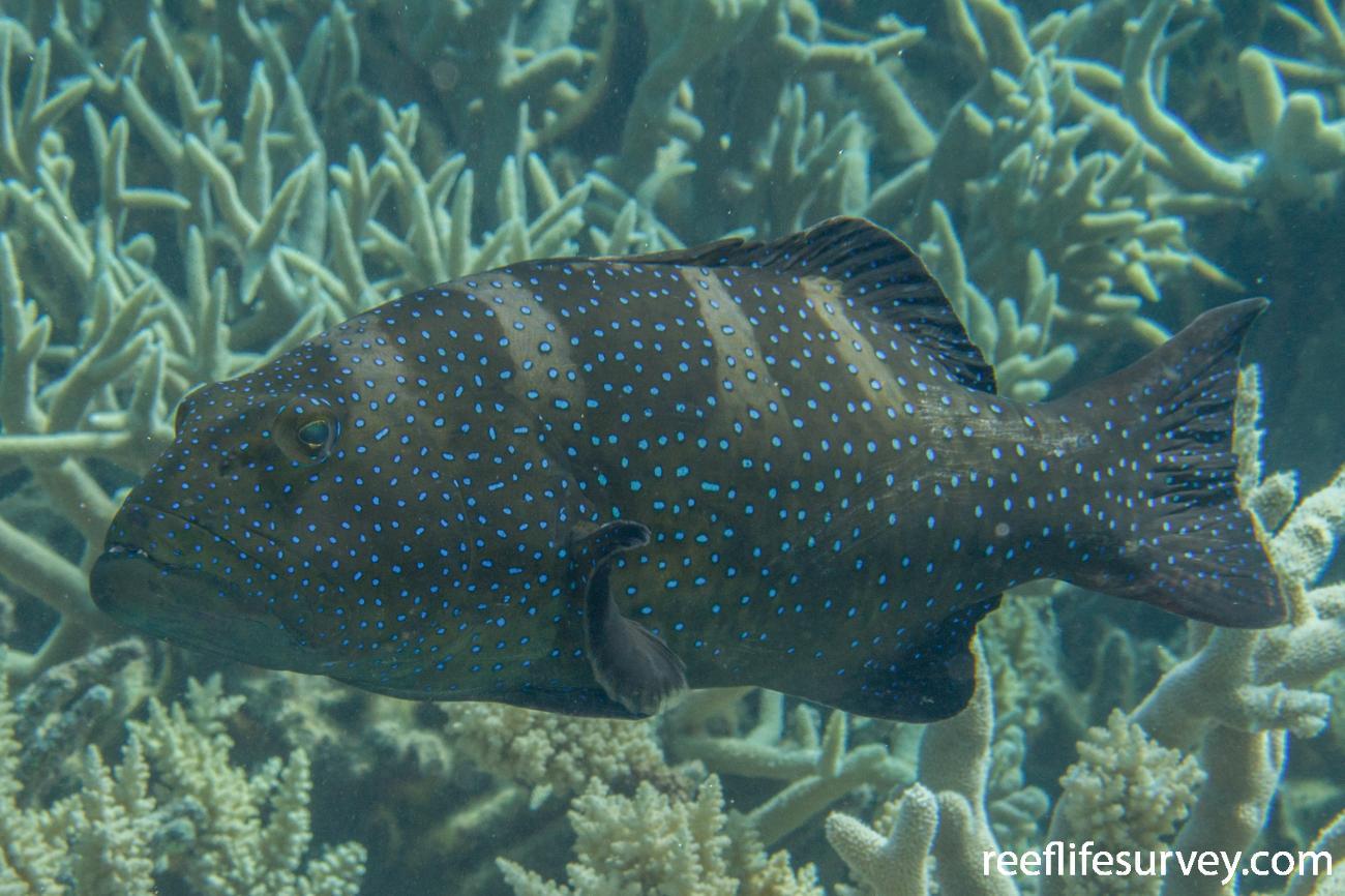 Plectropomus laevis, Adult, Coral Sea, Australia,  Photo: Rick Stuart-Smith