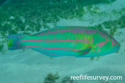 Thalassoma purpureum: Male, NSW, Australia,  Photo: Rick Stuart-Smith